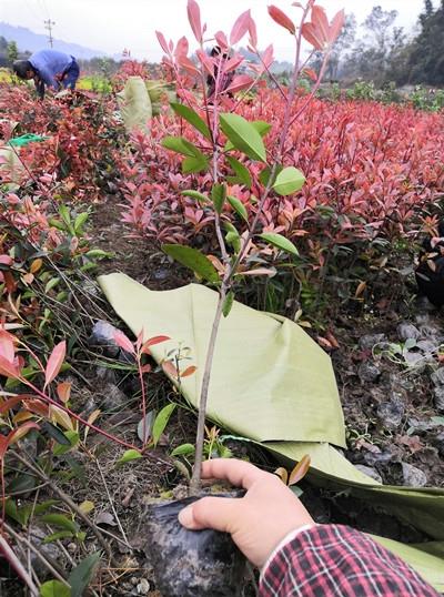 红叶石楠苗